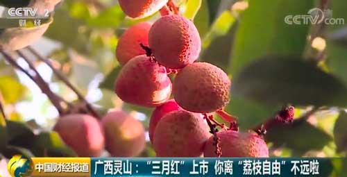 """广西灵山:""""三月红""""上市 你离""""荔枝自由""""不远啦"""