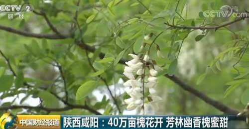 陕西咸阳:40万亩槐花开 芳林幽香槐蜜甜