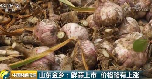 山东金乡:鲜蒜上市 价格略有上涨