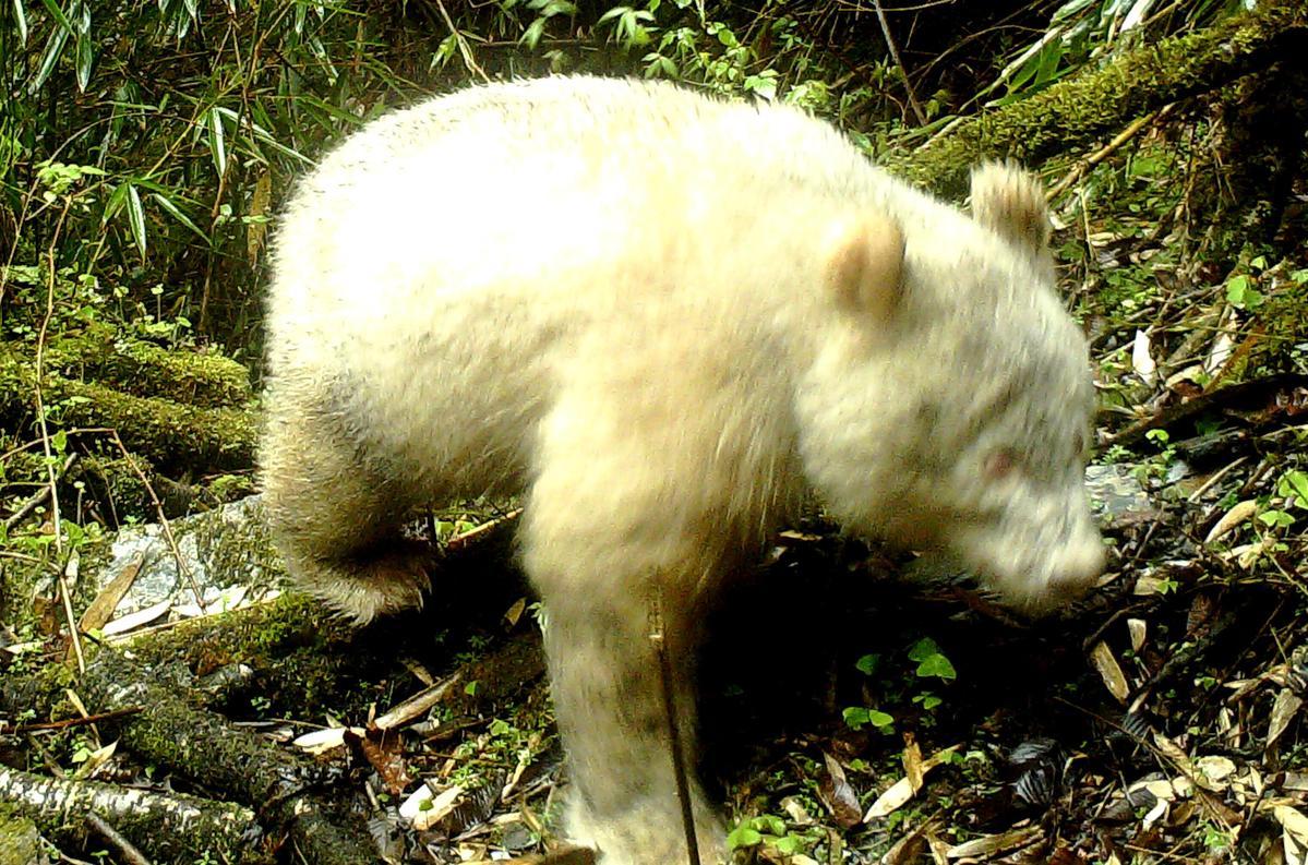 Rare all-white panda spotted in China - CCTV News - CCTV.com English