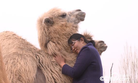 """绿色时空:骆驼在平原 """"走""""出花样财富 5月26日"""