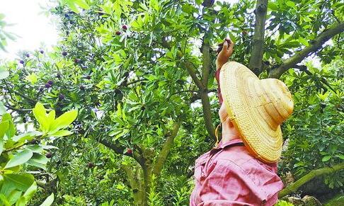 厦门市民在漳州杨梅园里采摘杨梅。