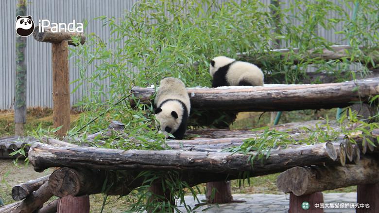"""大熊猫""""和和""""和""""美美""""小时候"""