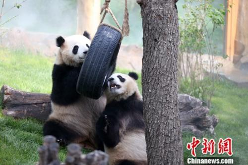 图为大熊猫在馆内玩耍。中新社记者 罗云鹏 摄