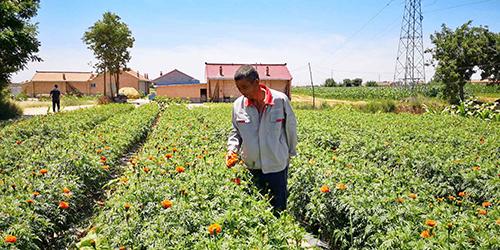 甘肃镇原:特色农业助脱贫 菊花铺就致富路