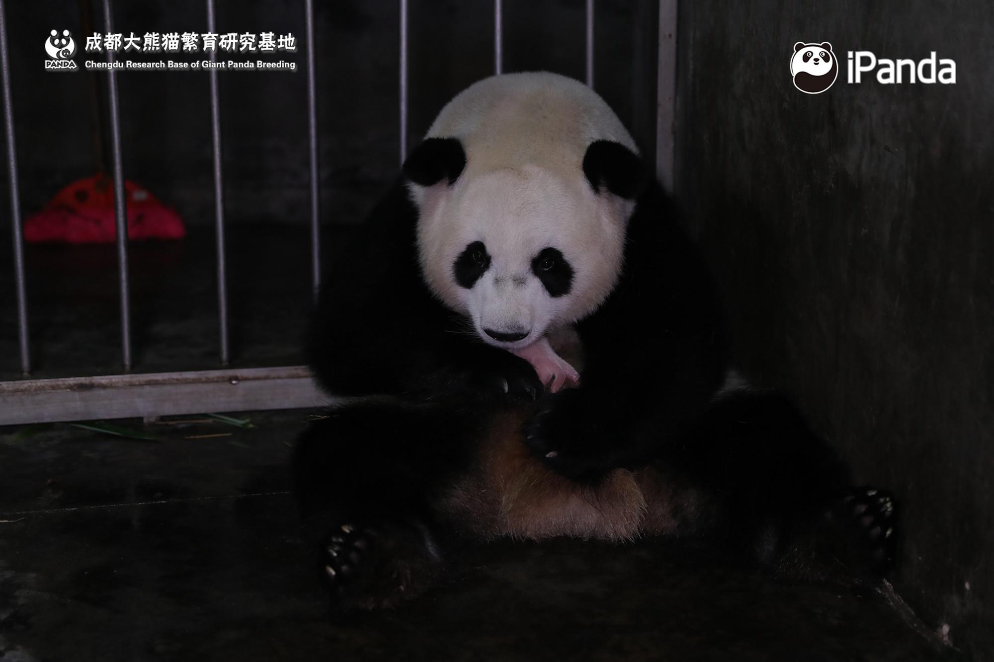 """大熊猫""""阿宝""""产仔图"""