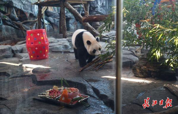 """大熊猫""""春俏""""走向生日蛋糕 记者许巍巍摄"""