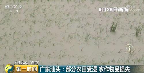 广东汕头:部分农田受浸 农作物受损失