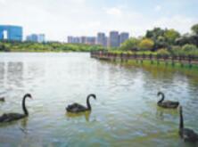 五缘湾湿地公园的黑天鹅在戏水