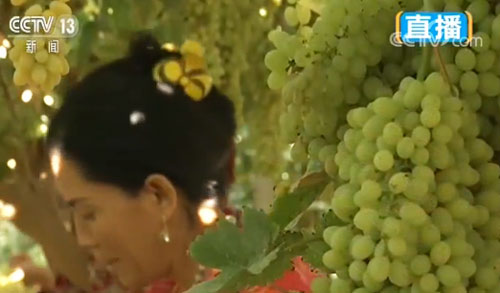 新疆 吐鲁番的葡萄熟啦 农户采摘忙