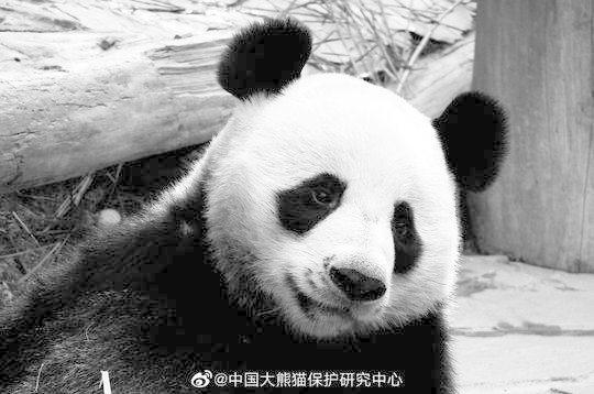 """大熊猫""""创创""""。中国大熊猫保护研究中心供图"""
