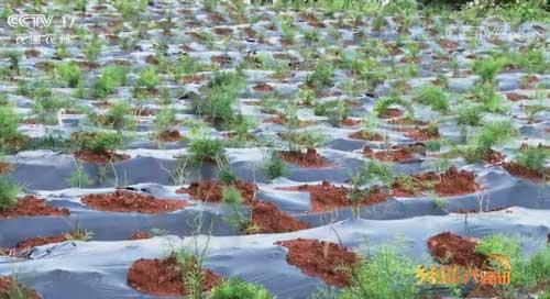 贵州丹寨:盘活林下资源 让生态资源变为致富之源