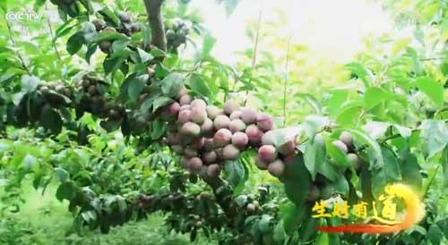 四川汶川:李子熟了 老百姓富了
