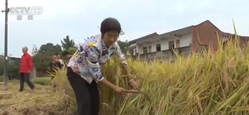 全国秋粮生产形势较好 西南地区开始收获