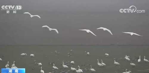 退垸还湖、修复湿地生态,一万多只候鸟齐聚西洞庭湿地