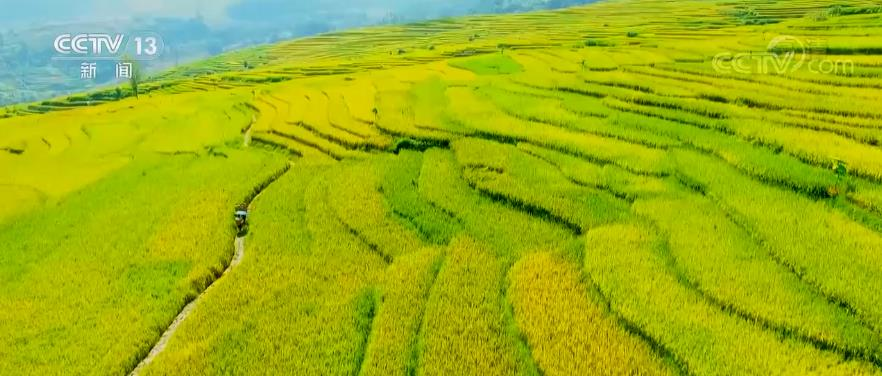 水稻最高亩产1123.87公斤 刷新贵州省水稻高产纪录
