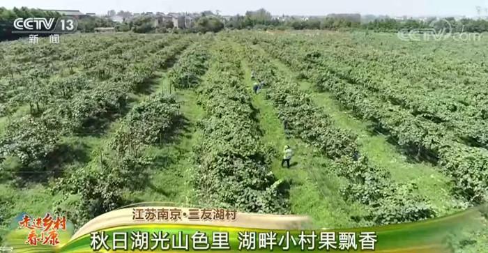 江苏南京·三友湖村:秋日湖光山色里 湖畔小村果飘香