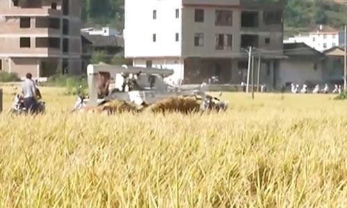 福建龙岩:千亩梯田水稻成熟 遍地金黄丰收在望