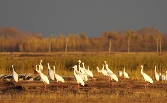 又是一年迁徙季 两千多只白鹤现身莫莫格湿地